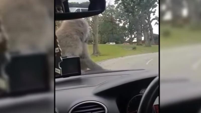 Babuínos surpreendem família num safari