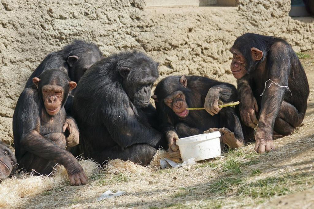 Chimpanzés conseguiram aprender rapidamente as regras do jogo