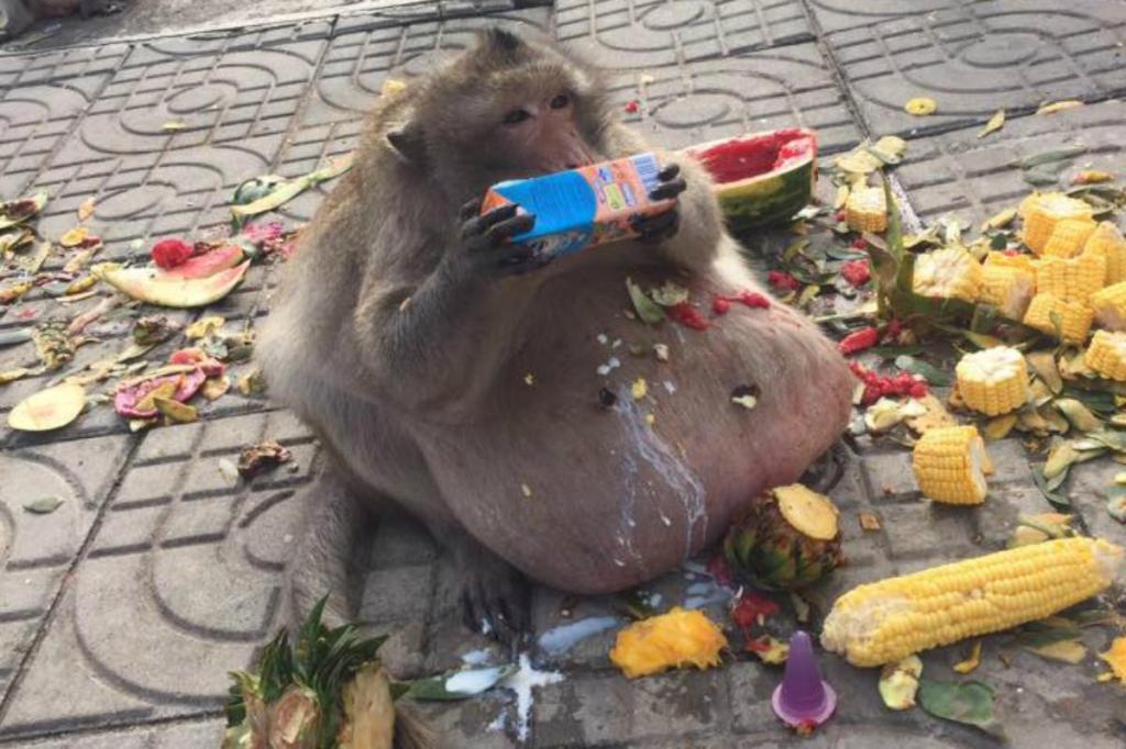 Macaco obeso com 28 quilos