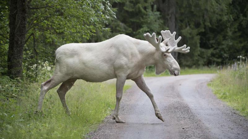 Alce branco avistado na Suécia