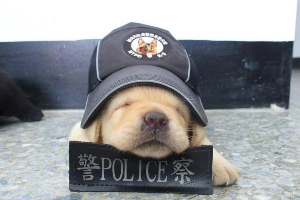 Fushin tem apenas um mês, mas já está a ser treinado pela Polícia Secreta de Taiwan, na China. O amoroso labrador foi apelidado de