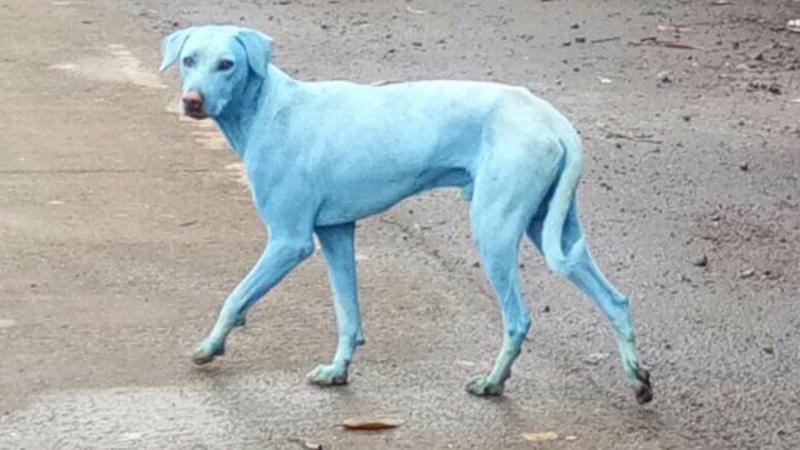 Cães azuis em Bombaim