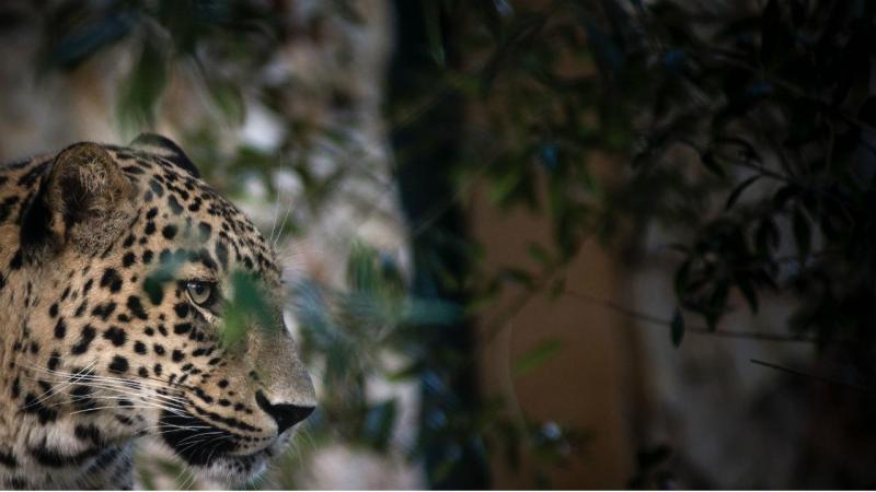 Leopardo persa Gaspar - Zoo de Lisboa