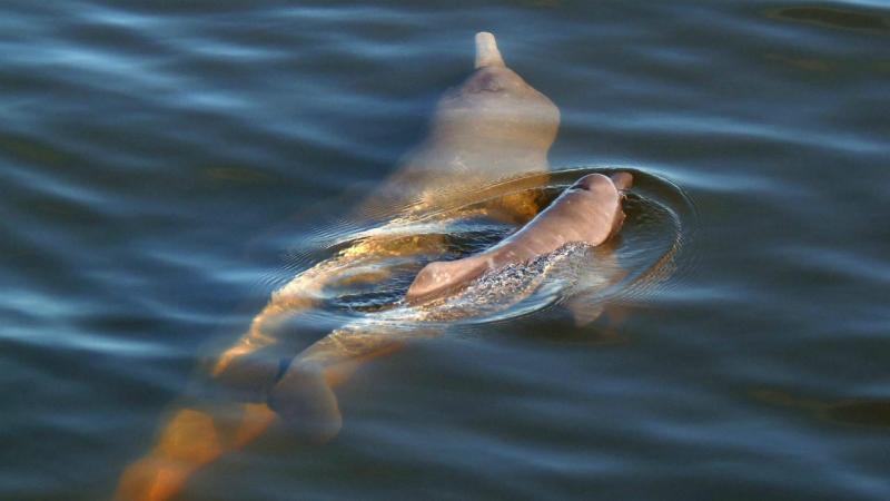 Golfinhos Inia araguaiaensis