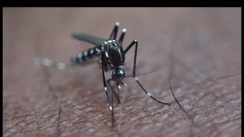 Detetado em Portugal um mosquito que pode transmitir dengue