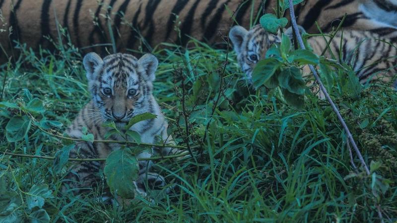 Crias de tigre-da-sibéria nascidas no zoo de Lisboa
