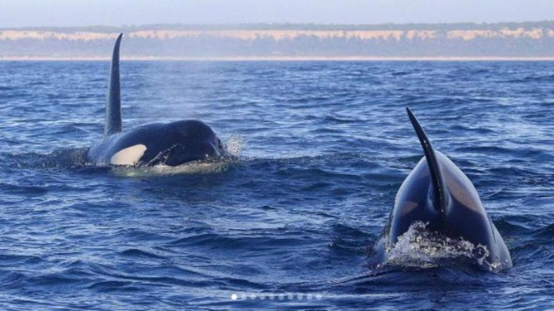 Orcas na Caparica