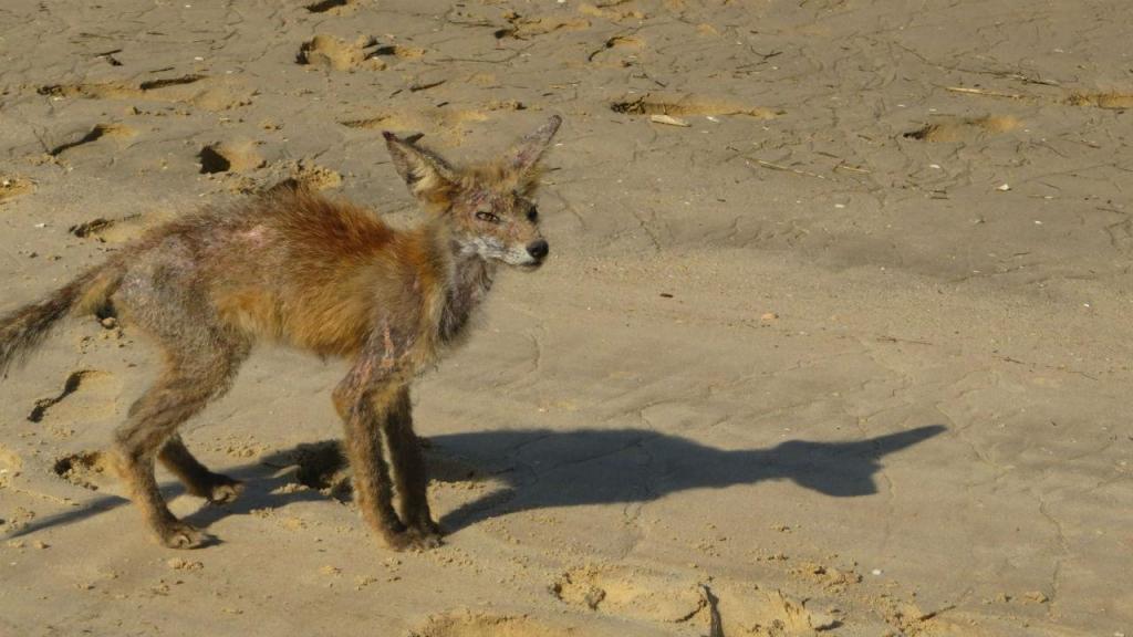 Raposa na praia de Cabanas de Tavira
