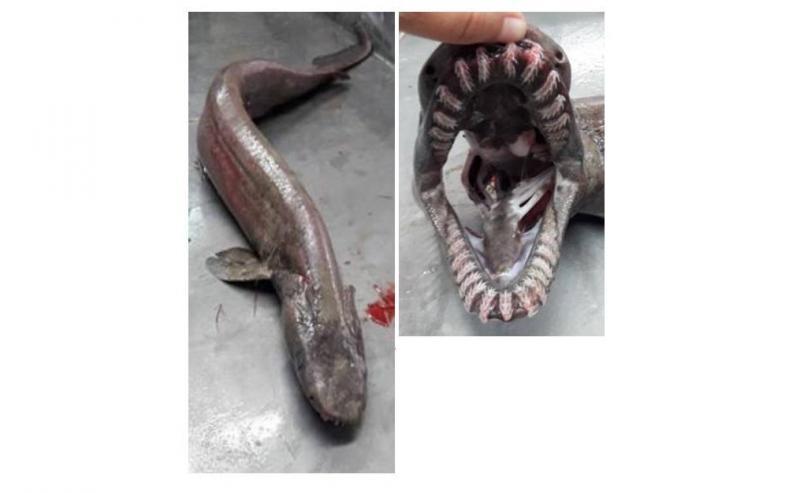 Tubarão-cobra