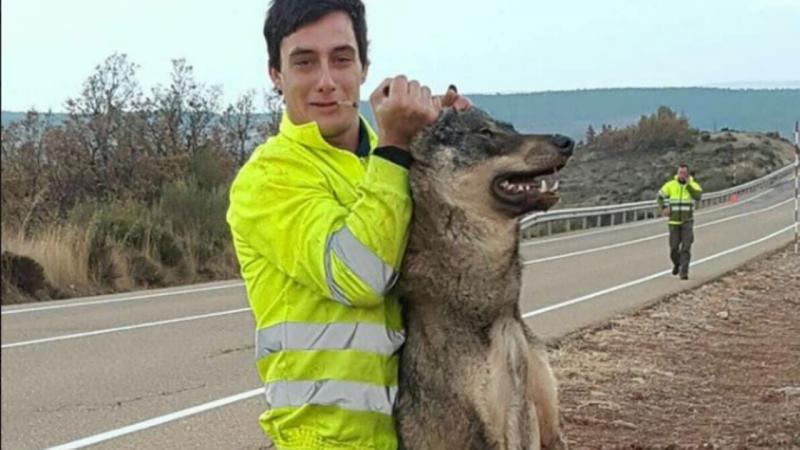 Atropelam lobo ibérico e depois exibem fotos
