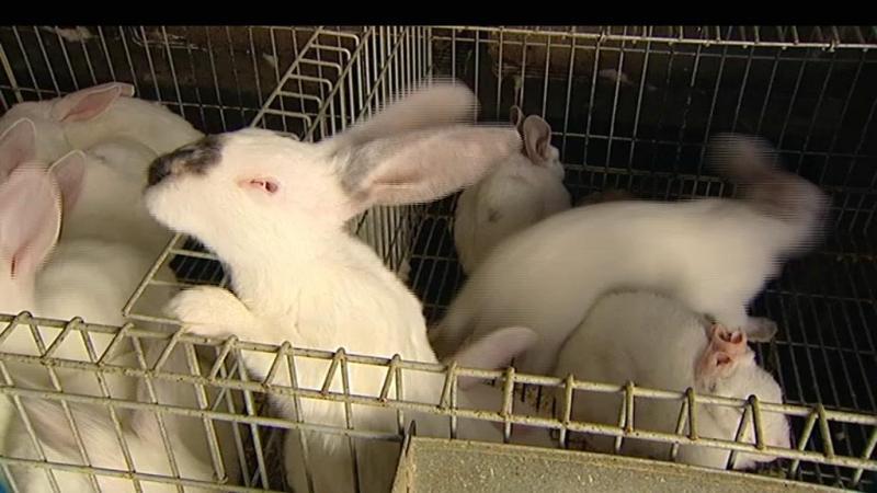 Penhora deixa milhares de coelhos a morrer à fome