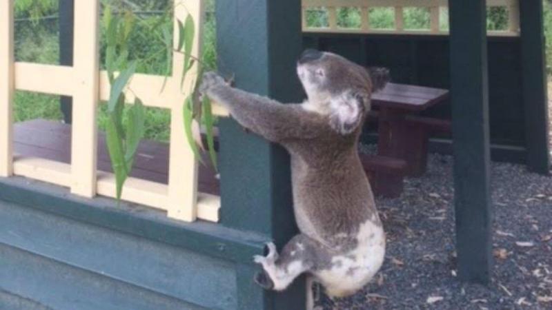 Koala pregado a porta