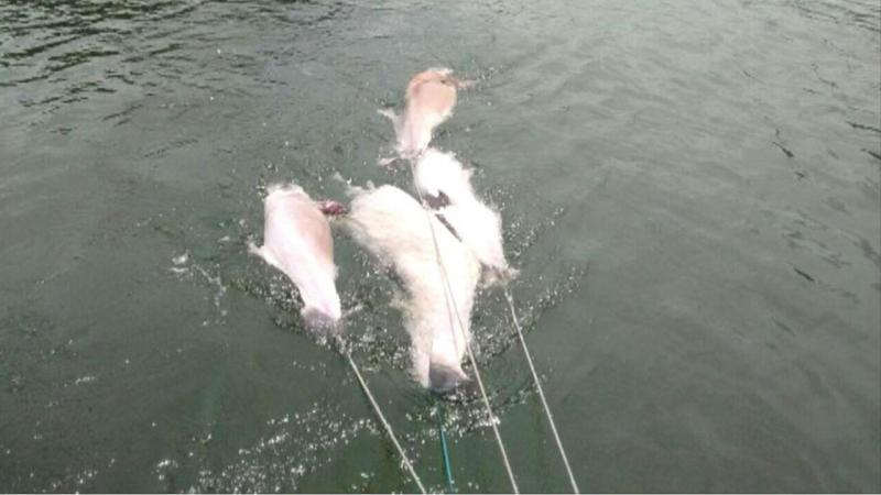 Vírus mata golfinhos no Brasil