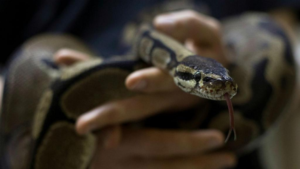 Cobra píton