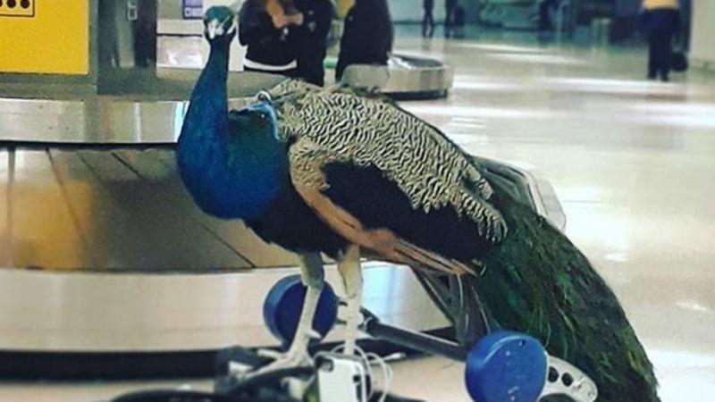 Pavão foi proibido de entrar no avião