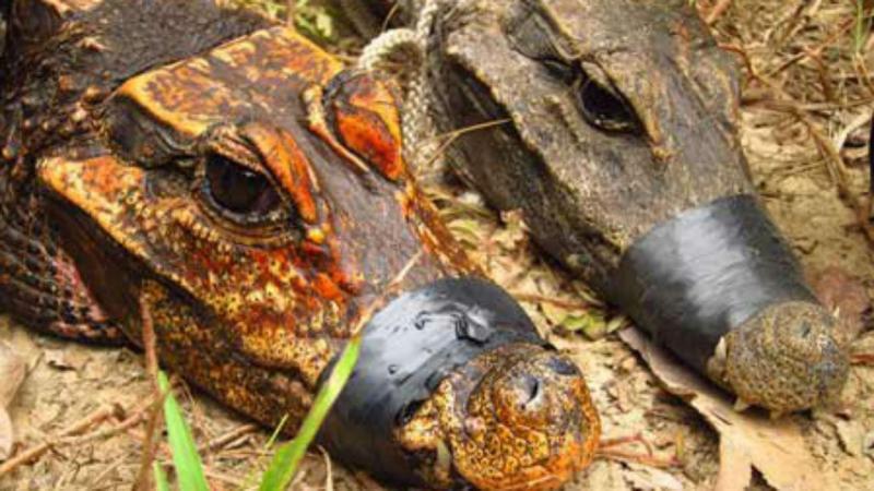 Descobertos crocodilos de cor alaranjada