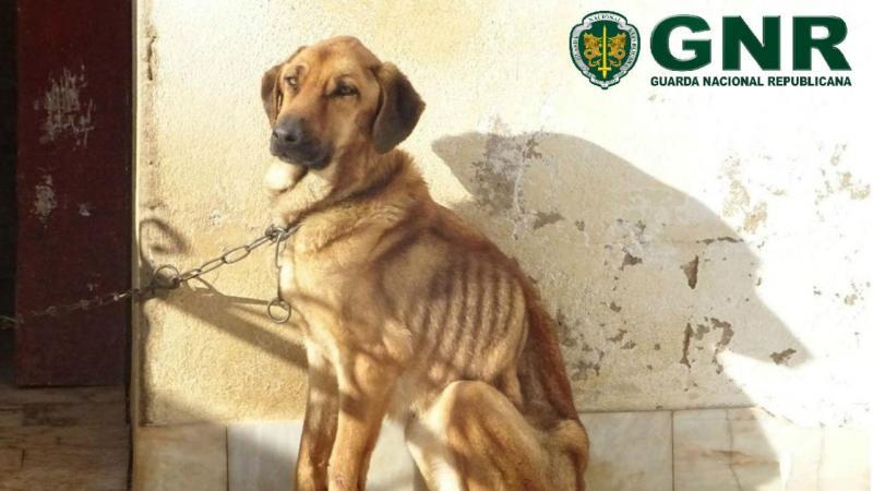 Cães mal tratados em Lagos