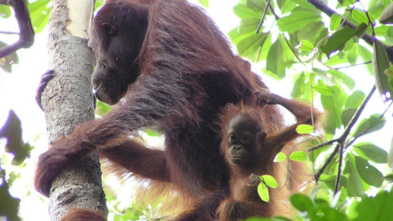 Orangotangos em risco