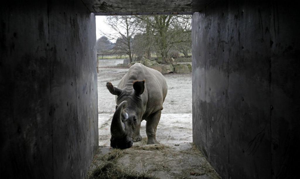 Sudan, o último macho rinoceronte-branco do norte
