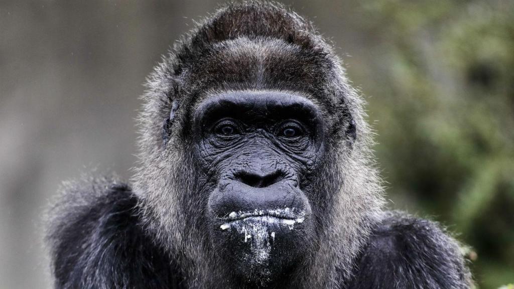 Gorila completou 61 anos
