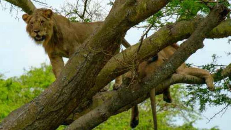 Leões no Parque Natural Queen Elizabeth, Uganda