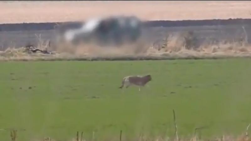 As imagens do momento em que o lobo é baleado estão a provocar revolta