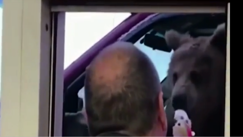 Urso saiu do zoo e foi até à gelataria