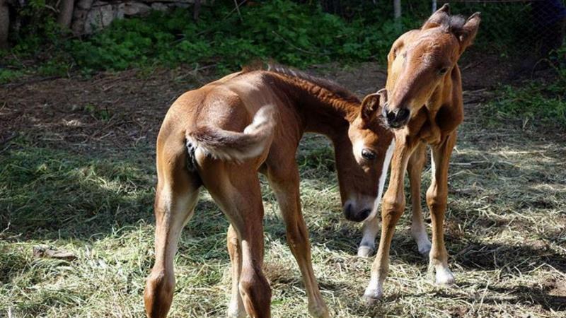 Potros gémeos nascidos numa quinta em Cercedilla, Espanha