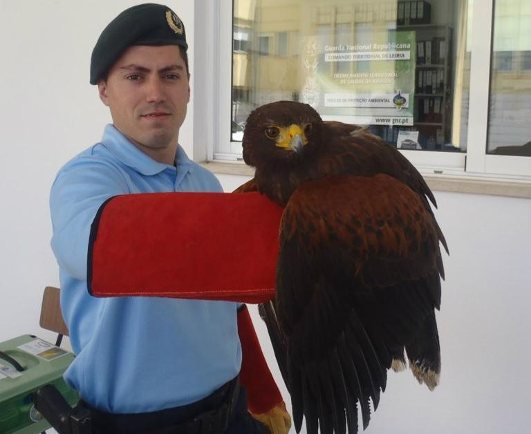 Águia de Harris (GNR - Leiria)