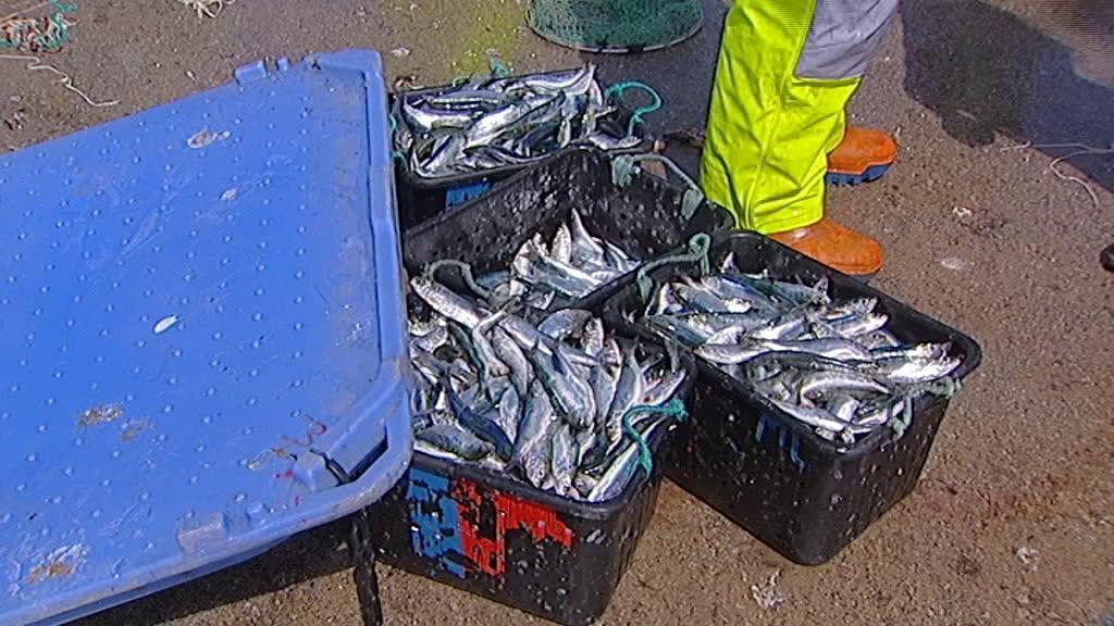 Abriu a época da pesca à sardinha