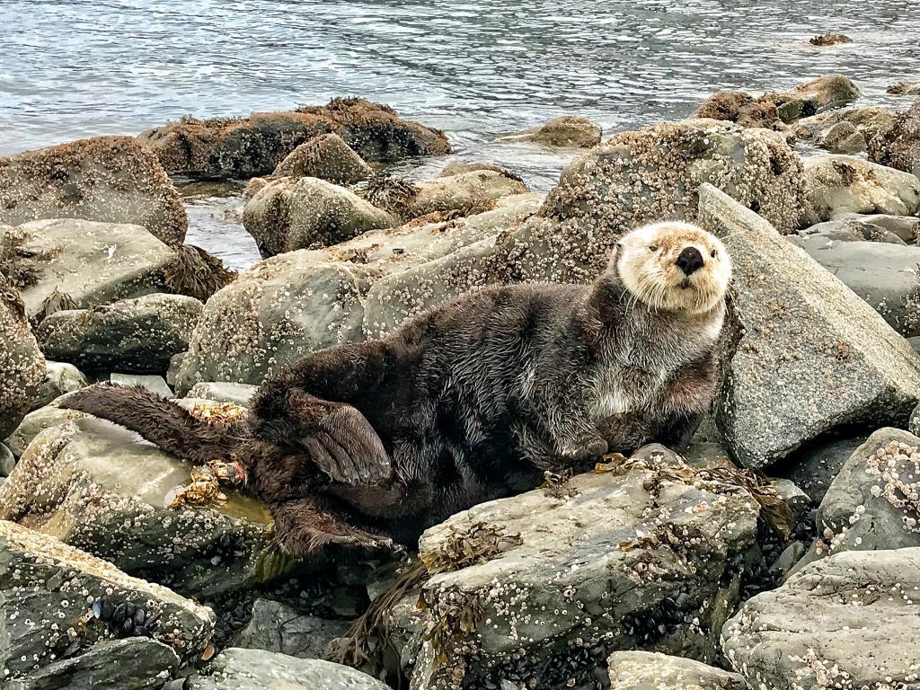 Lontras do Oceanário resgatadas no Alasca