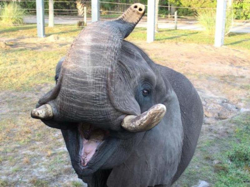 Elefante Ali