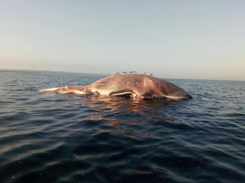 Baleia na Fonte da Telha