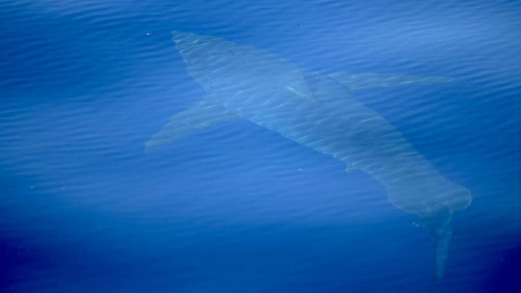 Tubarão avistado em Maiorca