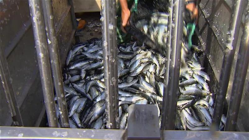 Protesto em Peniche contra a fiscalização e redução de quotas da sardinha