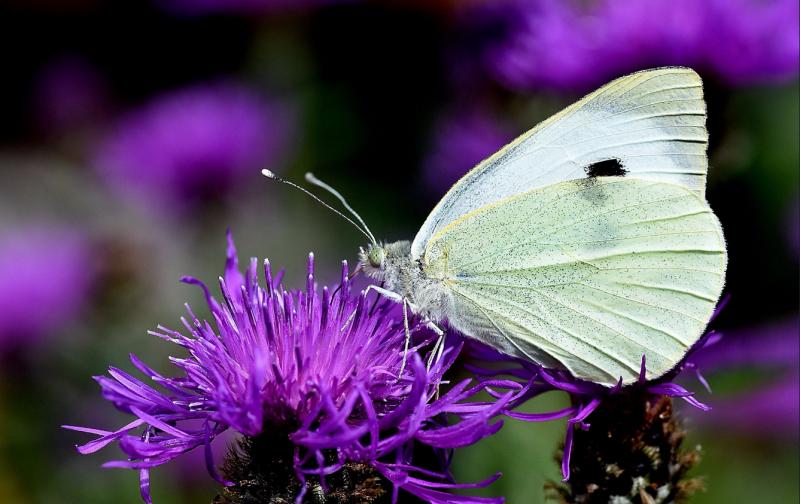 Grande contagem de borboletas