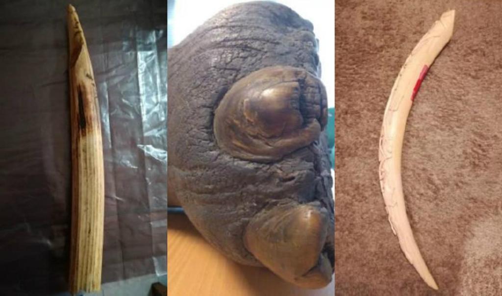 ASAE - apreensão marfim e pata de elefante