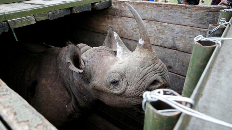 Rinoceronte fémea antes de ser transportada para o Parque Nacional Tsavo East, no Quénia