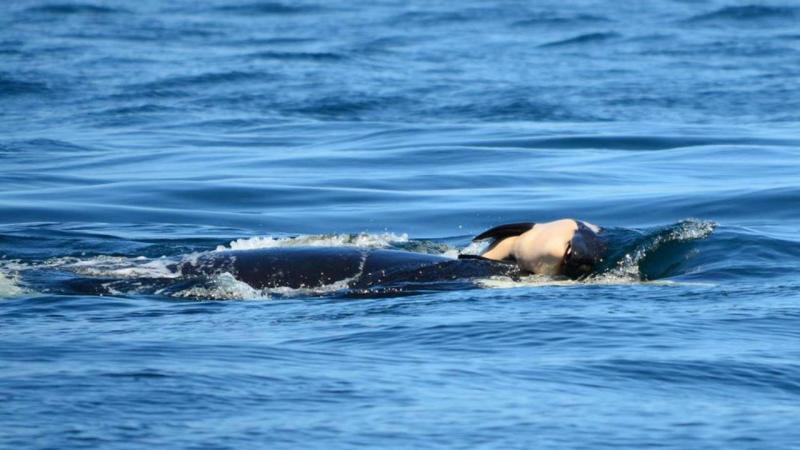 Baleia assassina carrega cria morta há 16 dias