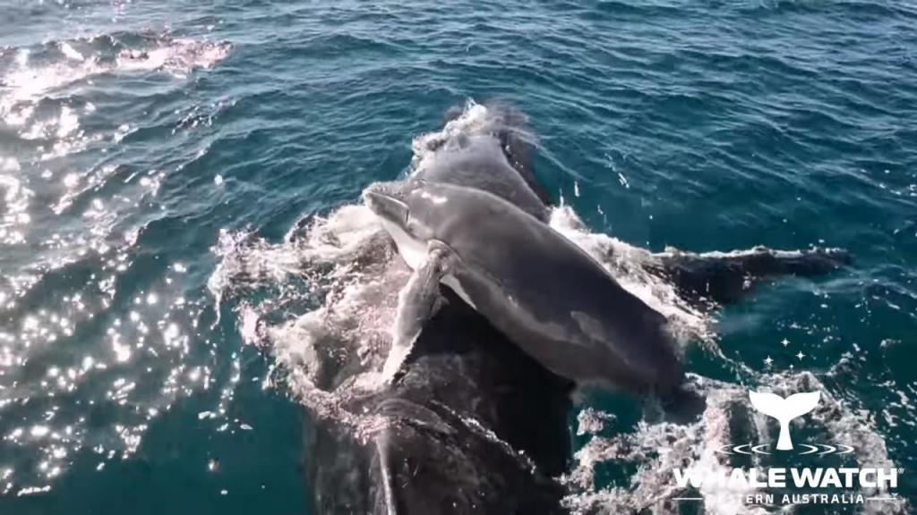 Golfinhos salvam baleia e filho bebé de ataque de outras baleias macho