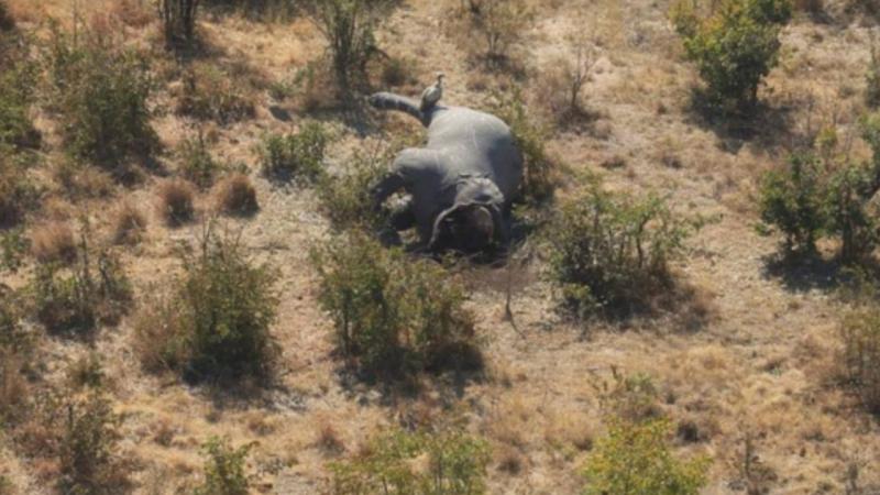 Elefantes mortos no Botsuana [Fonte: Elefantes sem Fronteiras]