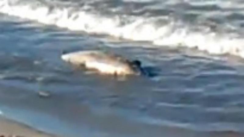 Cadáver de orca anã dá à costa em praia de Viana do Castelo