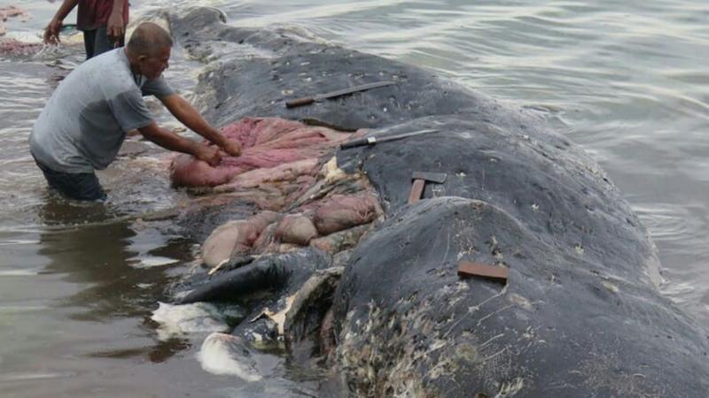 O cachalote foi encontrado com 115 copos, quatro garrafas, dois pares de chinelos e sacos de plástico no estômago