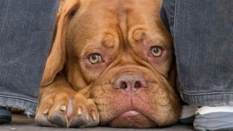 Cão de raça Dogue de Bordéus
