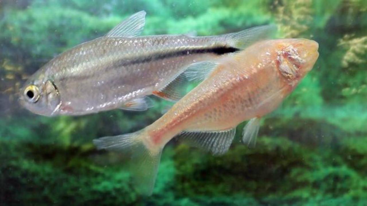 Astyanax mexicanus, o peixe que poderá regenerar corações humanos