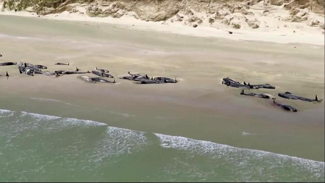 Cerca de 145 baleias-piloto ficaramencalhadaseste sábado numa baía da Nova Zelândia