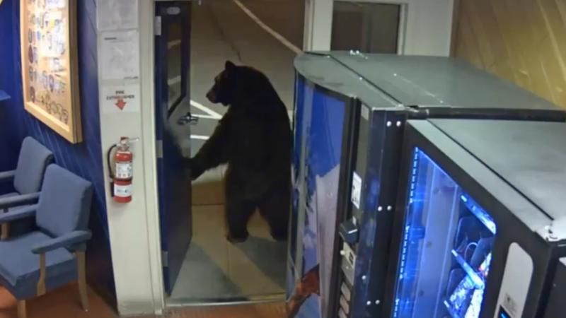 Urso entra nas instalações da polícia da Califórnia