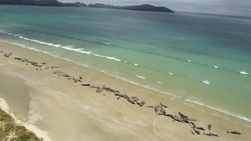 Baleias morrem na costa da ilha Stewart