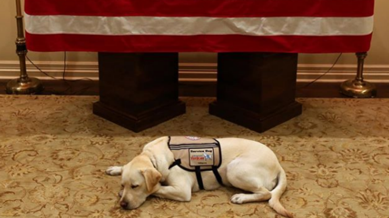 Sully, o cão de acompanhamento do ex-presidente dos Estados Unidos, George H. W. Bush
