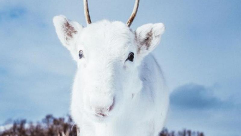 A rena bebé encontrada na Noruega sofre de uma mutação genética